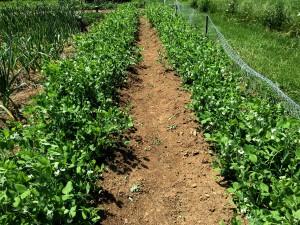 80 Feet Of Wide-Row Sweet Peas